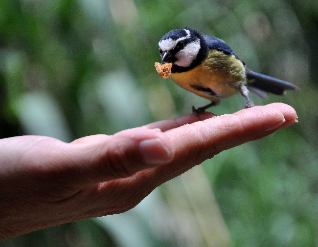 A défaut de canaris, une mésange de Tenerife. (Photo : Norbert Choisi)