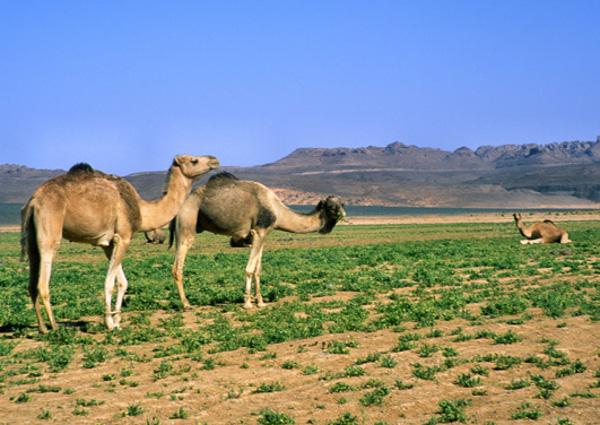 Le plateau de Dider est étonnamment verdoyant, un lieu idyllique pour les troupeaux. (Photo : André Laurenti)
