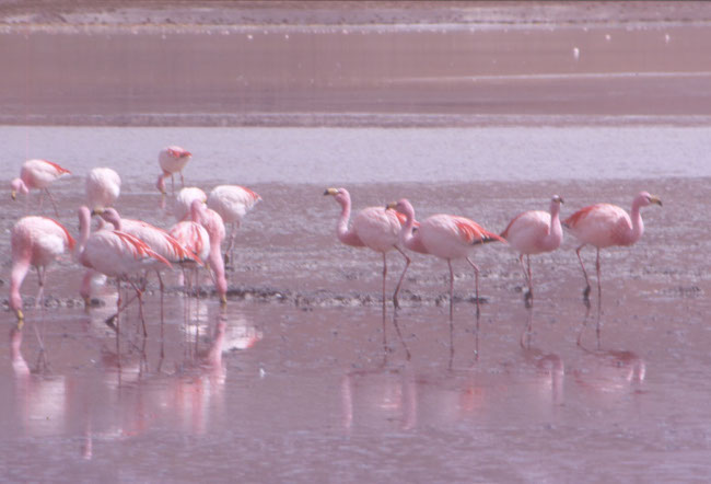 Les flamants roses du salar de Surire. (Photo : André Laurenti)