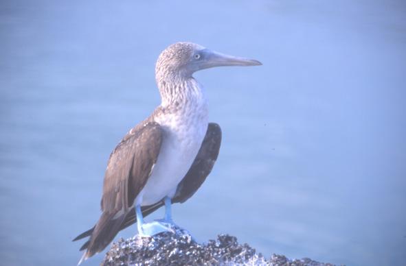 Les fous à pattes bleues n'hésitent pas à nidifier au fond du cratère. (Photo : André Laurenti)