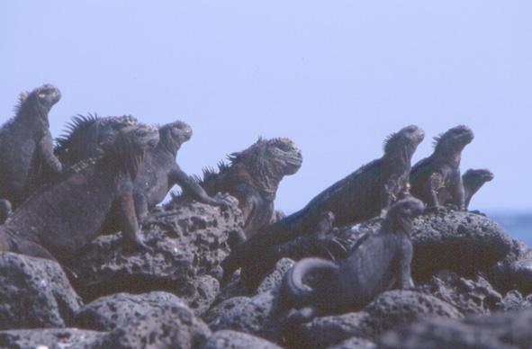 Iguanes marins, tous sont herbivores. (Photo : André Laurenti)