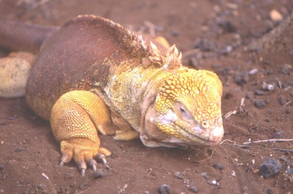 L'Iguane terrestre que l'on trouve en liberté sur l'île de Santa Cruz, peut atteindre 1,50 m de long. (Photo : André Laurenti)