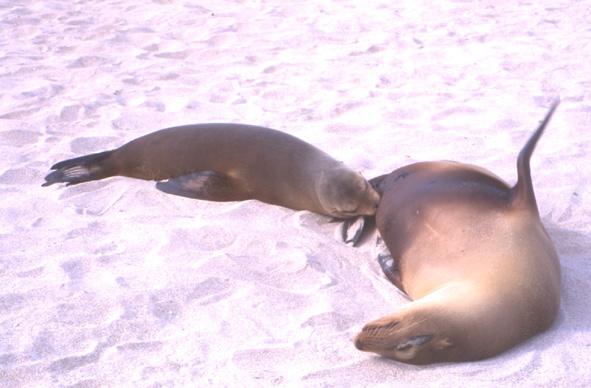 A terre les lions de mer n'aiment pas trop être dérangés surtout à l'heure de la sieste, en revanche dans l'eau ils prennent plaisir à venir jouer avec vous. (Photo : André Laurenti)