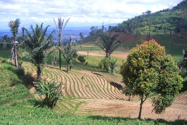 Grâce à la présence du volcan le sol est extrêmement fertile. (Photo : André Laurenti)