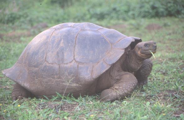 La tortue terrestre l'animal symbole des Galapagos, peut vivre jusqu'à 150 ans. (Photo : André Laurenti)