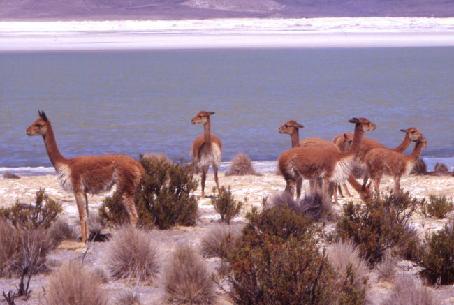 Les vigognes ne semblent pas farouches à notre approche. (Photo : André Laurenti)