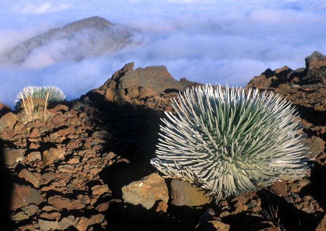 """Le caldeira de l'Haleakala est le paradis d'une plante appelée """"les sabres d'argent"""". (Photo ; André Laurenti)"""