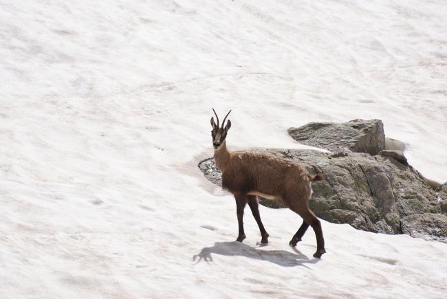 Le chamois fuit très vite, mais prend souvent le temps de vous observer. (Photo : André Laurenti)
