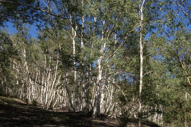 Le chemin s'enfonce dans un petit bois de bouleaux. (Photo : André Laurenti)