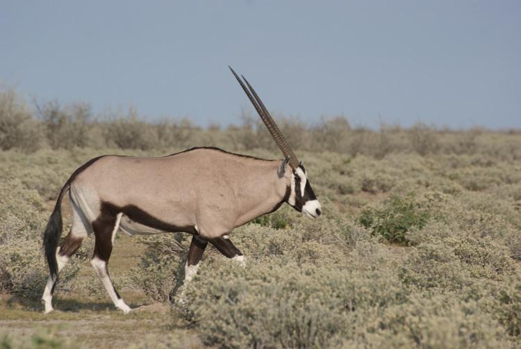 L'oryx ou gemsbok est aussi l'emblème de la Namibie (Photo : André Laurenti)