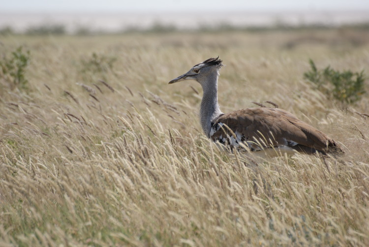 Le kori bustard (Photo : André Laurenti)