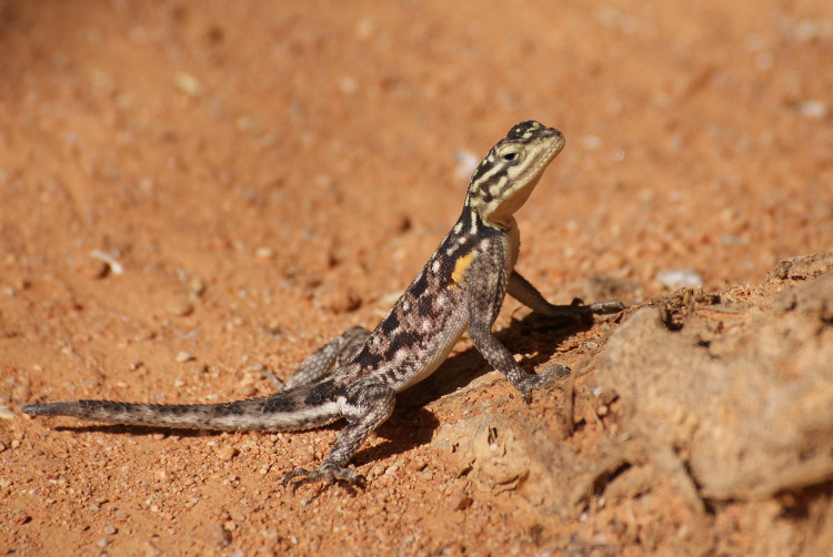 Un petit lézard (Photo : André Laurenti)