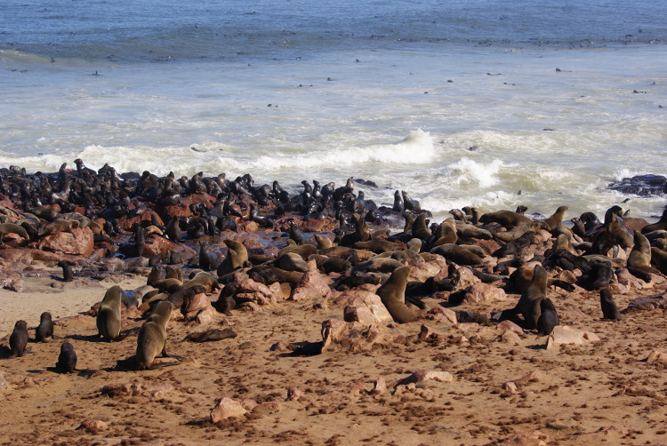 La population d'otarie à fourure du Cap Cross (Photo : André Laurenti)