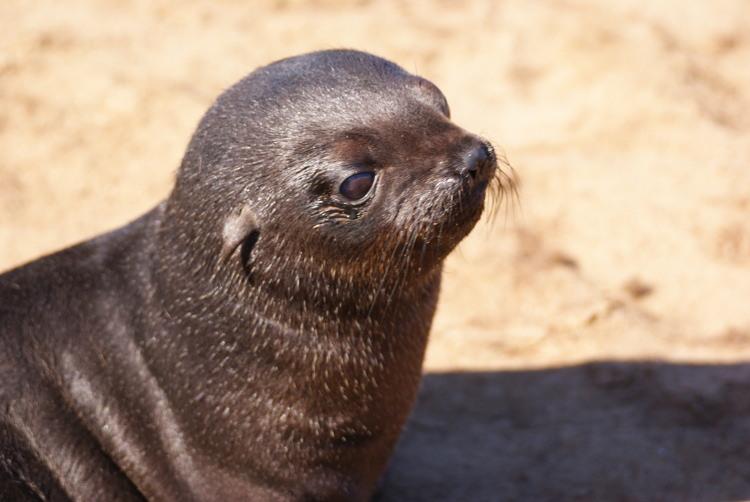 Leurs petites oreilles les différencient des phoques (Photo : André Laurenti)