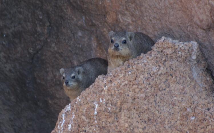 Les damans sont des petits mamifères plantigrades (Photo : André Laurenti)