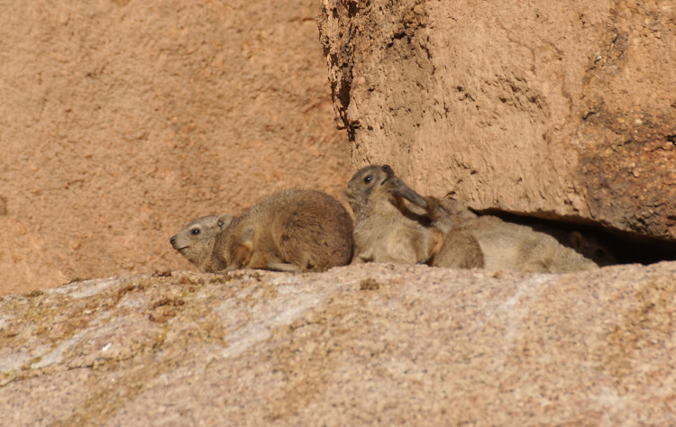Les damans vivent dans les rochers dans lesquels ils se protègent du soleil (Photo : André Laurenti)