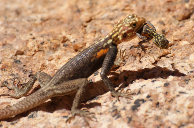 Lézard (Photo : André Laurenti)