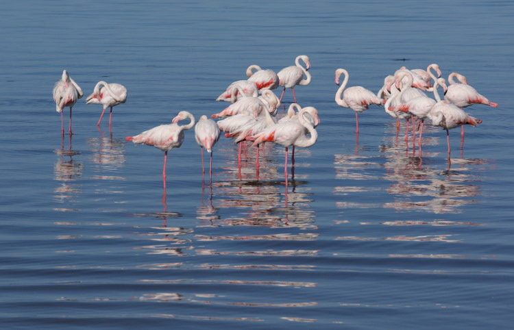 Les flamants roses (Photo : André Laurenti)